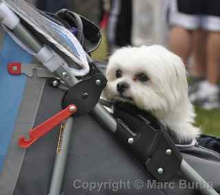 AIDS Walk 2012 San Francisco dog