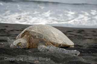 Punaluu black sand beach turtle Hawaii