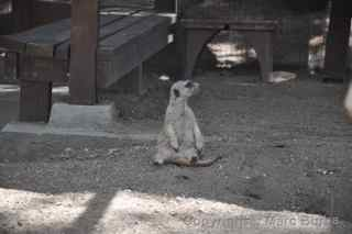 Fellow Earthlings meerkats