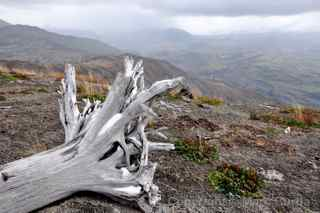mount st. helens tree